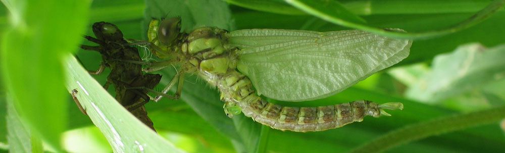 dragonfly-hatching